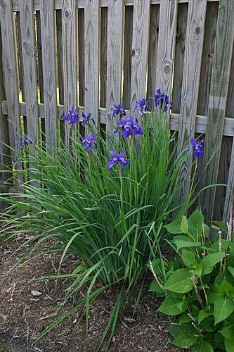 Garden Pictures 2008 013