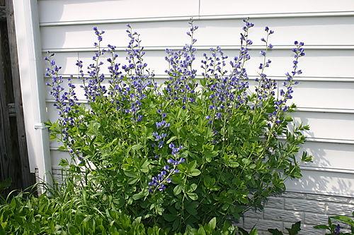 Garden Pictures 2008 017