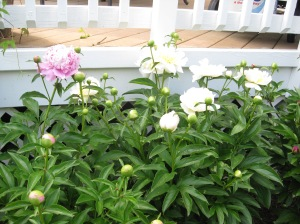 Flowers 2009 020