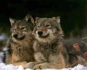 whichwolf